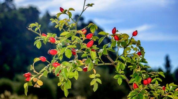 Rosa mosqueta. Sus grandes propiedades y beneficios